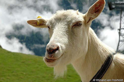 ugly billy goat