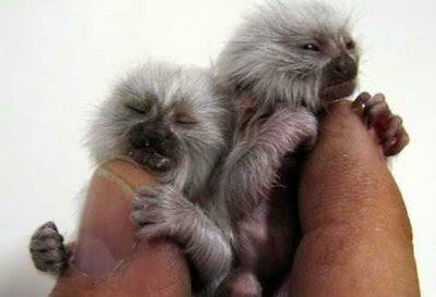 Hewan Hewan terlucu dan terimut.. :) Cutest_smallest_animals_16_preview