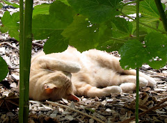 Marmalade Asleep Under the Okra