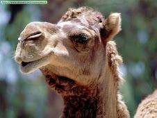 El Décimoctavo Camello