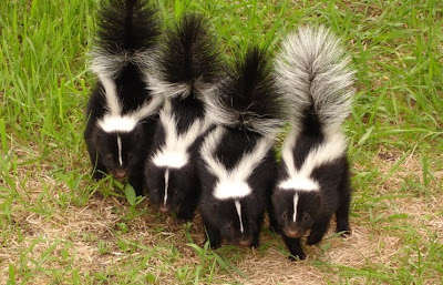 Skunk Mating Season