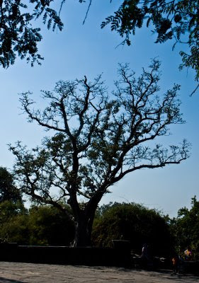 Posted by Vibha Malhotra: Chausath Yogini Temple - Jabalpur : A tree in the complex