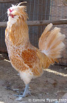 Buff Laced Rooster Standing