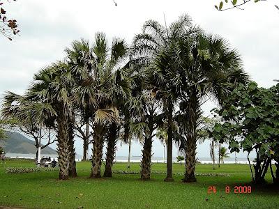 Palmeiras nos jardins da praia de Santos