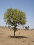 राजस्थान का राज्य वृक्ष  खेजड़ी