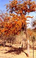 राजस्थान का राज्य फुल  रोहीडा