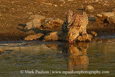 Leopard at Waterhole, Etosha, Namibia