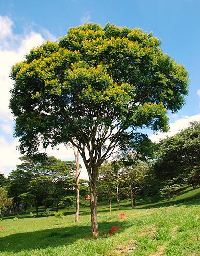 Árvores - Nossos baixos antes de tomar forma PAU+DE+FERRO