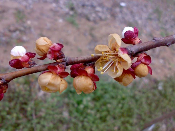 Kayısı çiçeklerinde don zararı