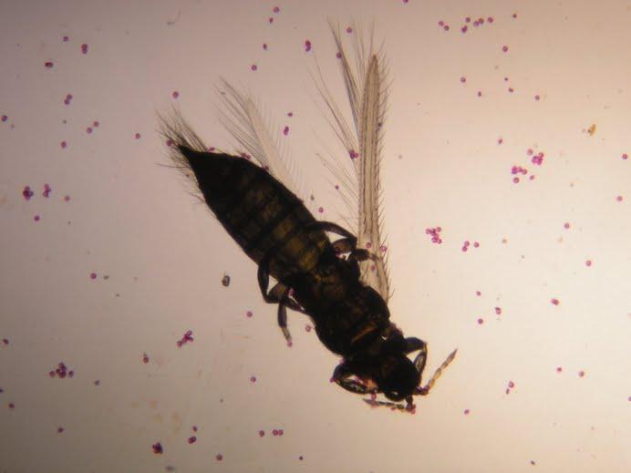 Polen fiksasyonu sırasında araya karışan zavallı bir böcek :))