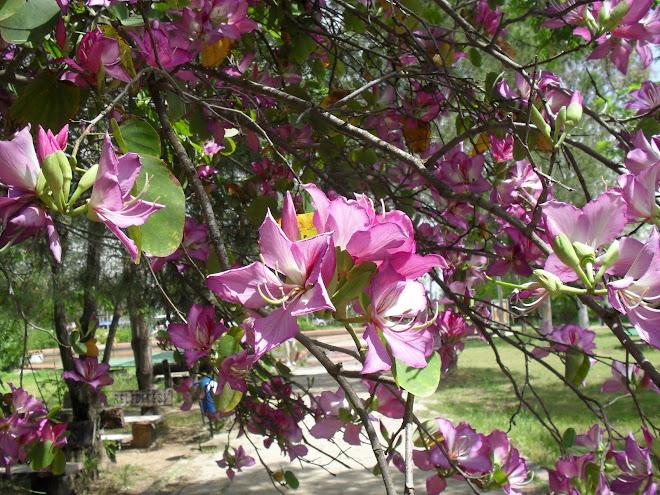Çiçekleri çok güzel olan bir ağaç...