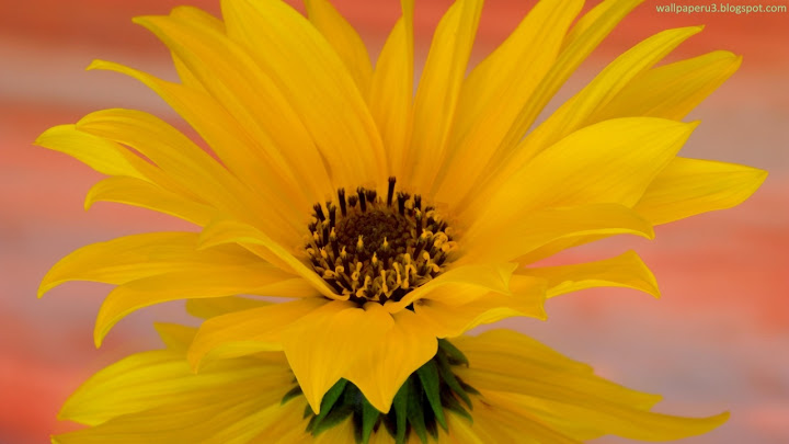 Flower HD Wallpaper 107