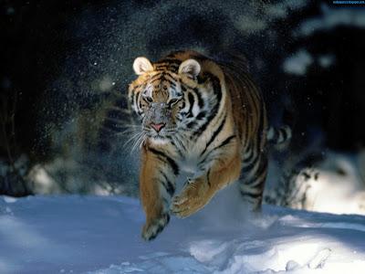 Tiger Standard Resolution Wallpaper 9