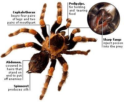 http://1.bp.blogspot.com/_AHYnEAj2rcY/TCRYaQEFVPI/AAAAAAAAAKU/qWhxe17Y5hQ/s1600/laba-laba+bagiannya.jpg
