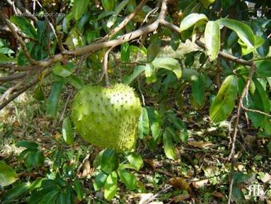 Malayalam News: [www.keralites.net] Cancer Killing - Fruit ... Soursop Tree In Kerala