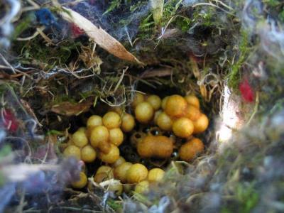 Bombus arılarının doğadaki yaşayışı Susanneluft-nestacker5
