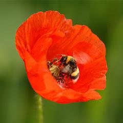 Bombus arıları sitemize hoş geldiniz!