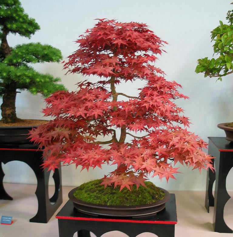 Azul cor de menta eu quero um bonsai - Como cuidar bonsais ...