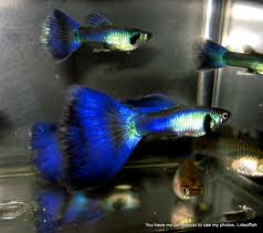 blue moscow guppies