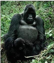 Gorilas de montaña de Ruanda