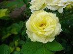 Floreciò mi rosal en invierno.