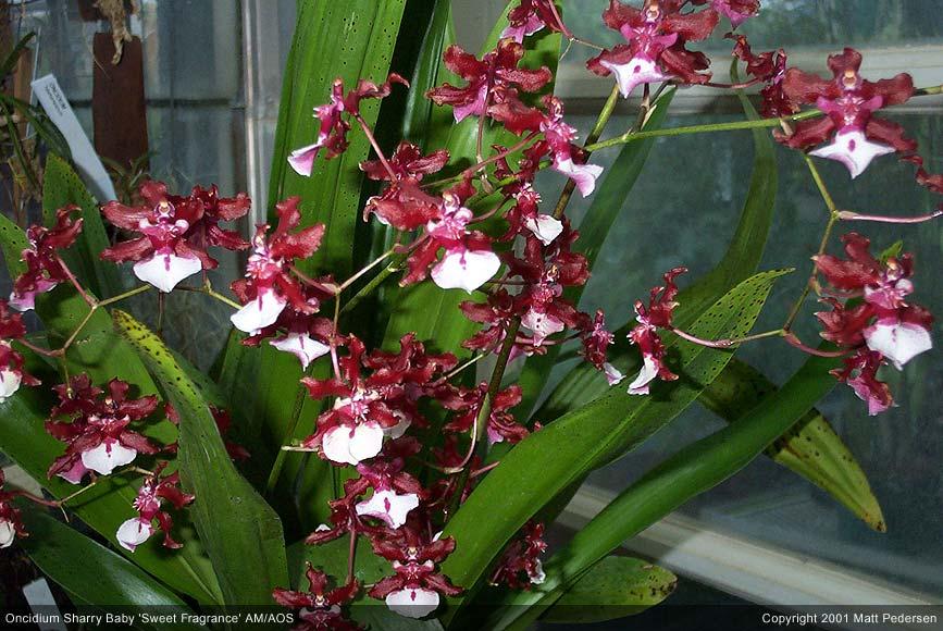 Уход за орхидеей онцидиум — Клуб любителей орхидей