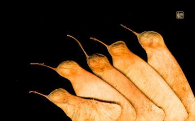 Semillas de acacia a 1