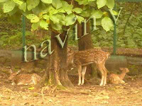Beautiful spotted deers at Sanjay Gandhi National park safari in Borivali suburb of Mumbai in India