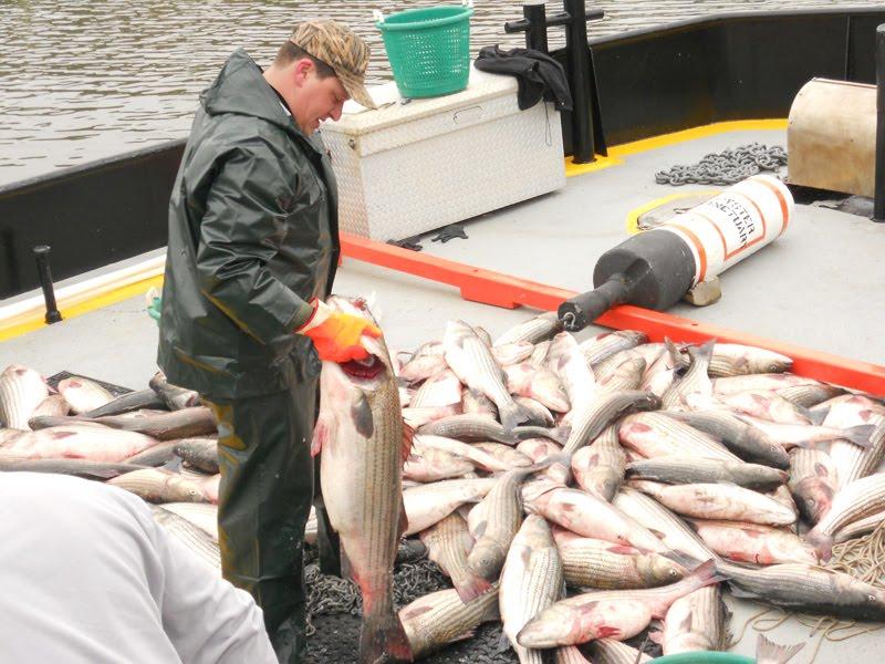 The weekend sportfishermen 10 tons of striper poaching in for Gill net fishing