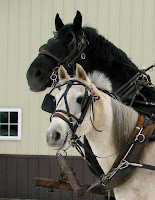 Half-Arabian Mare & Percheron Stallion Hitch