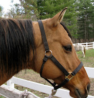 Stock-Type Horse Bridle Path Length