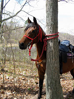 Arabian Horse Tied on Trail with Rope Halter
