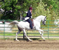 National Show Horse at a Collected Canter