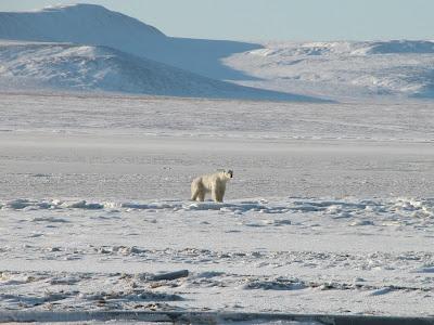 белый медведь позирует
