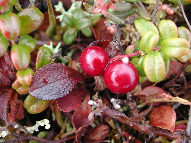 чукотские ягодки- брусника