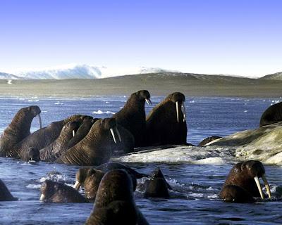 чукотские обои-моржи