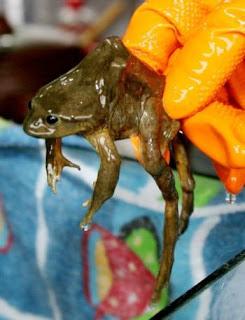 Jus katak yang menyihatkan