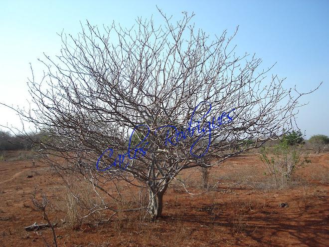 Árvore seca na Chapada Diamantina