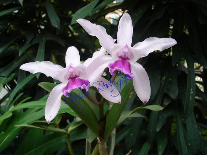 Orquídeas Jardim Botânico do Rio de Janeiro