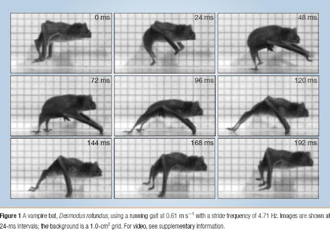 Biomechanics: Independent evolution of running in vampire bats Fig1