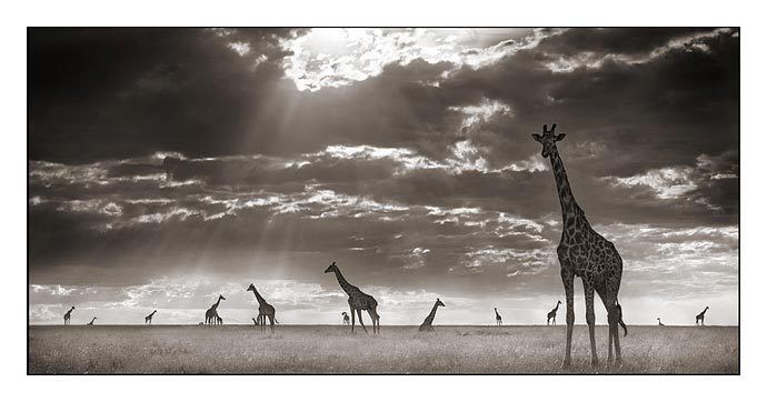 Photographie 022_Giraffes-In-Evening-Light%5B1%5D
