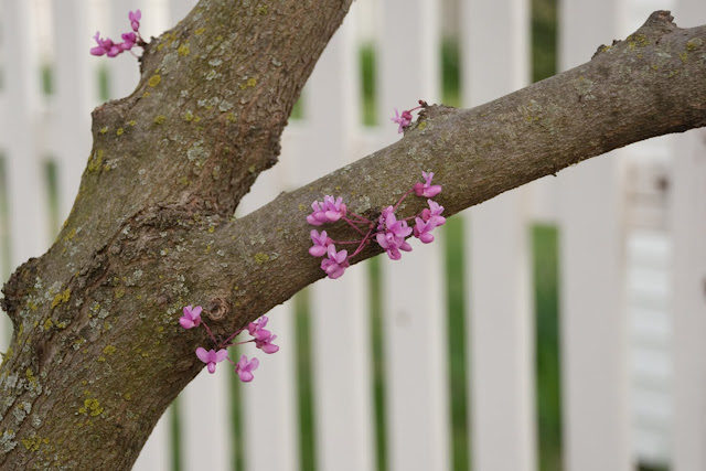spring blossoms on flowering tree