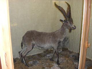 Pyrenean Ibex Celia