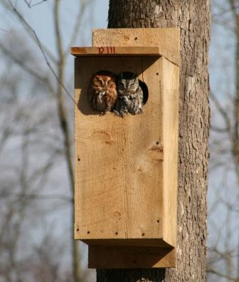 ohio birds and biodiversity: screech-owls of varied hue