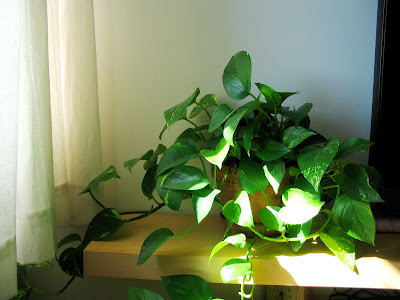 medium sized plant used to soften the area around the television