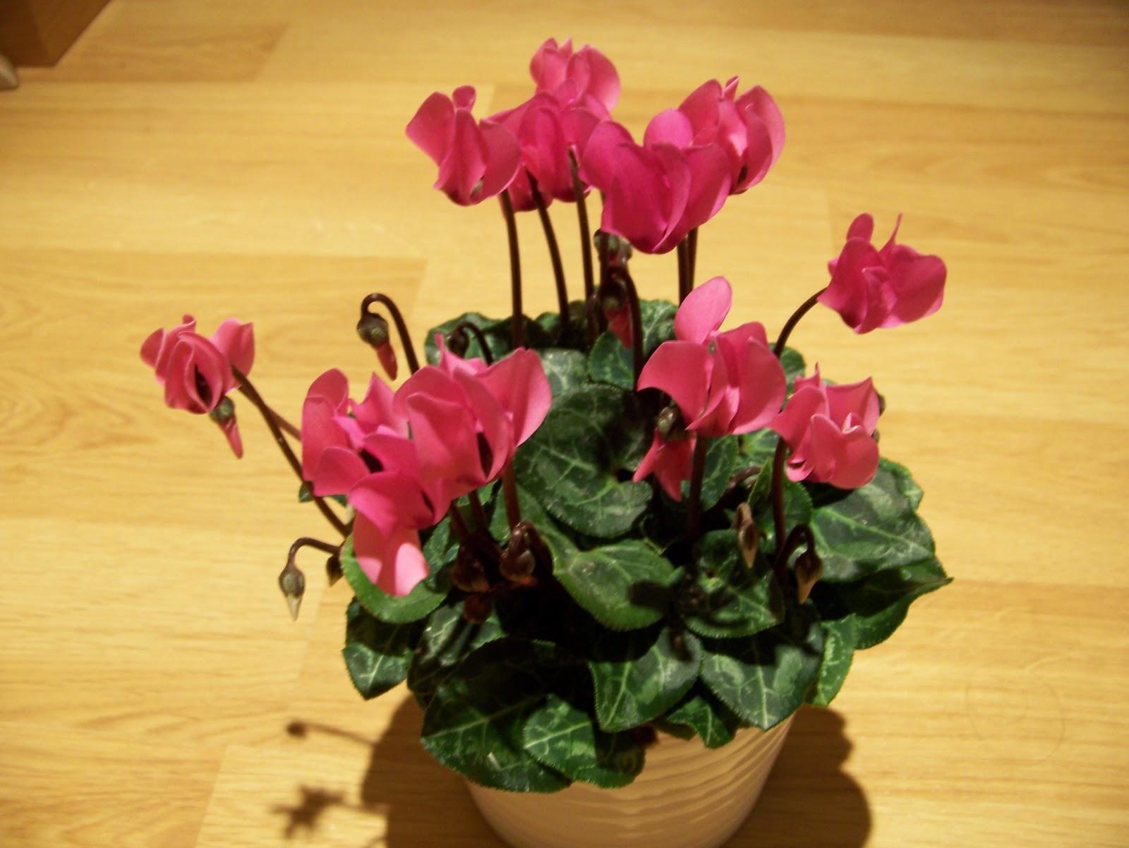 plantas de invierno el ciclamen plantas y flores