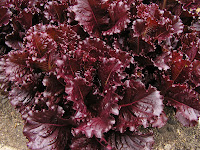 beautiful red cold weather lettuce
