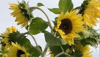 great sunflower project