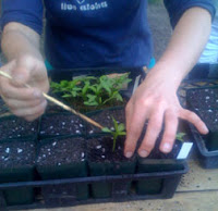 transplanting seedling pots with a chopstick