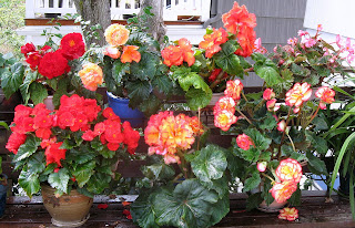 begonias in the shade